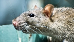 Mice Rat and Rodents