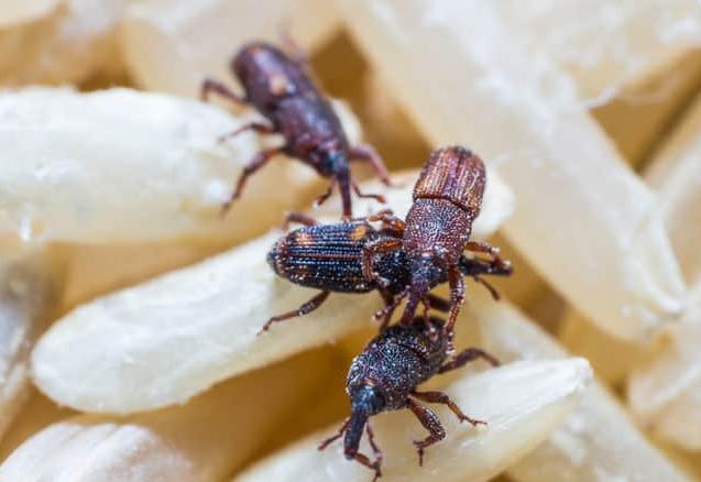 Pantry Pests